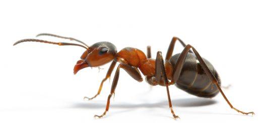 муравей-мутант