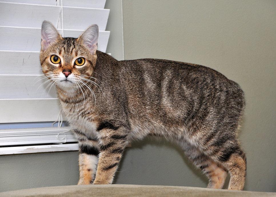 Кошка породы мэнкс