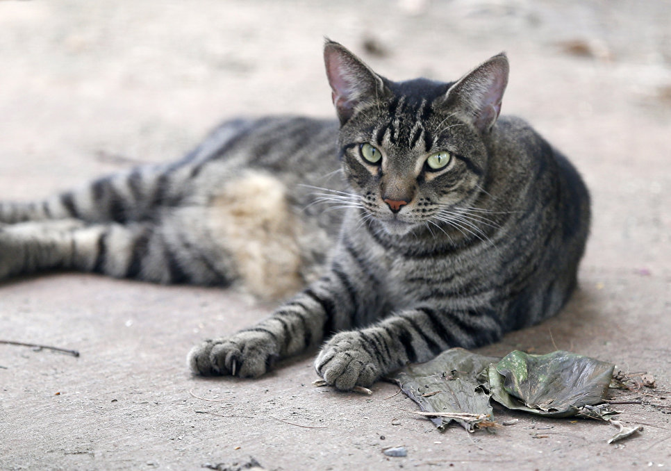 Шестипалая кошка, проживающая в доме-музее Эрнеста Хемингуэя