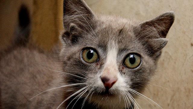кот с несколькими ушами