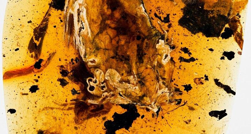 В янтаре найдена птица-«блин» возрастом 99 млн лет