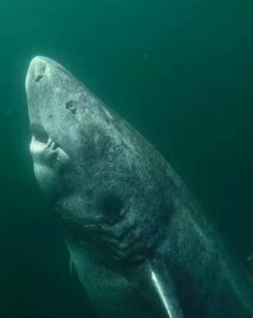 акула, которой 500 лет