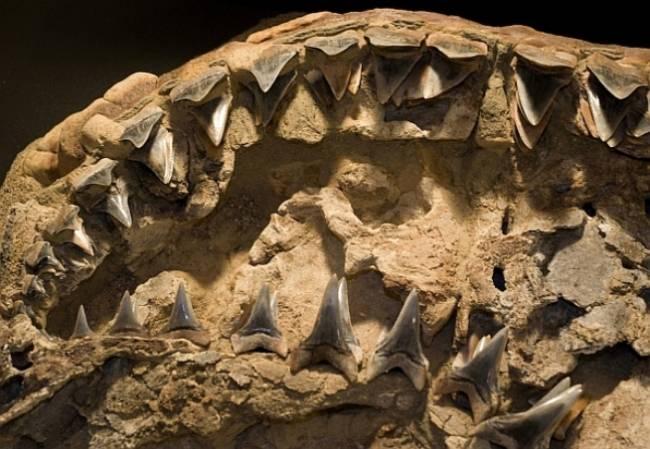 челюсть мегалодона