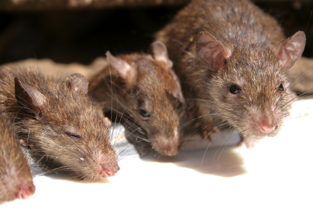храм, где преклоняются крысам