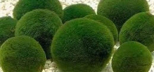 загадочные шарообразные предметы зеленого цвета