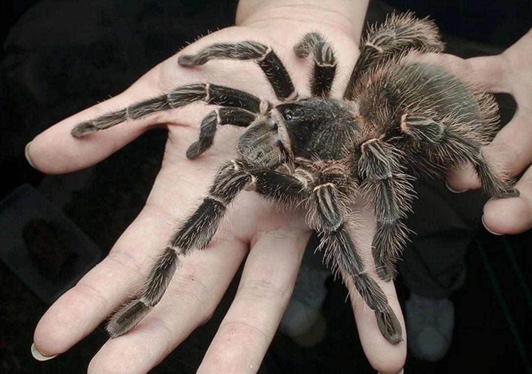 Доисторические пауки