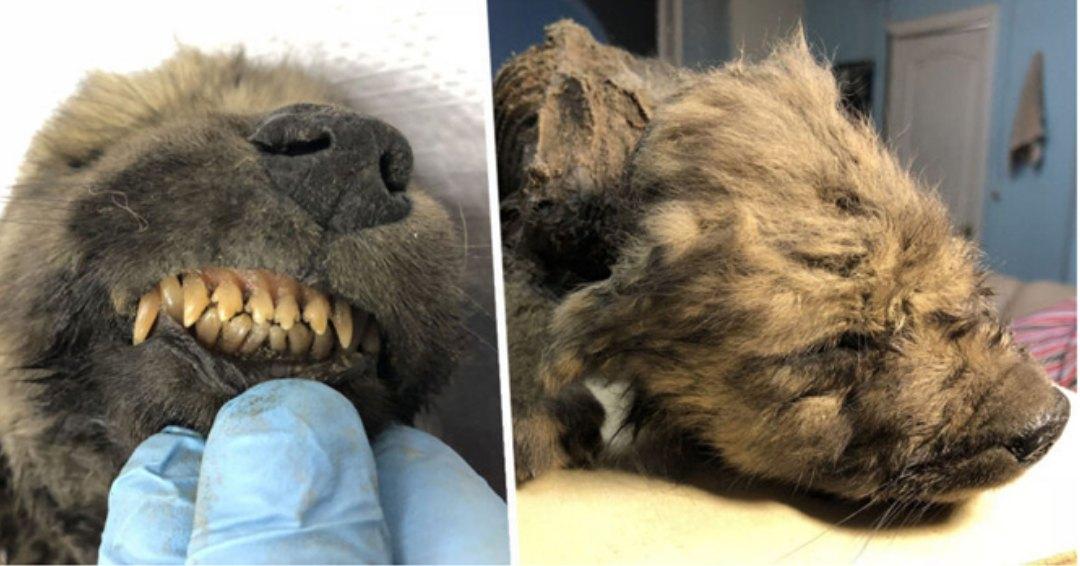 останки щенка самой древней собаки в мире