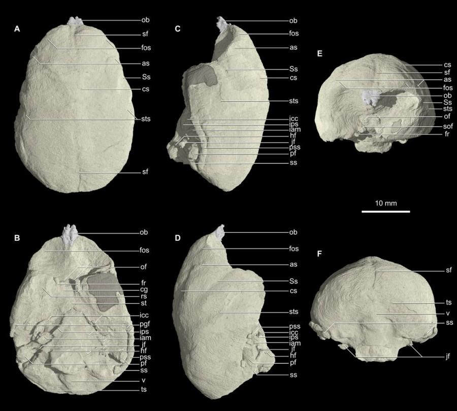 крошечный череп