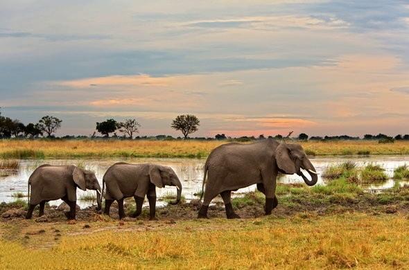 слоны Ботсваны